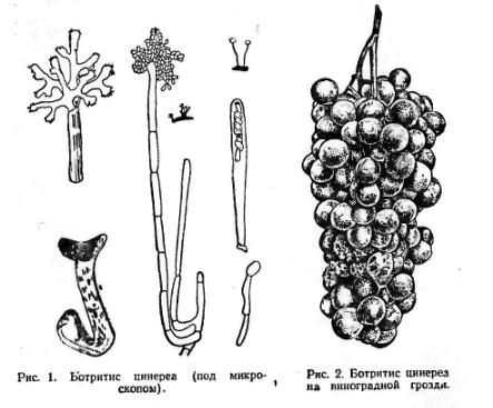 Конидии (рис. I).